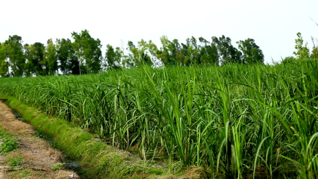 sugarcane field - sugar cane stock videos and b-roll footage