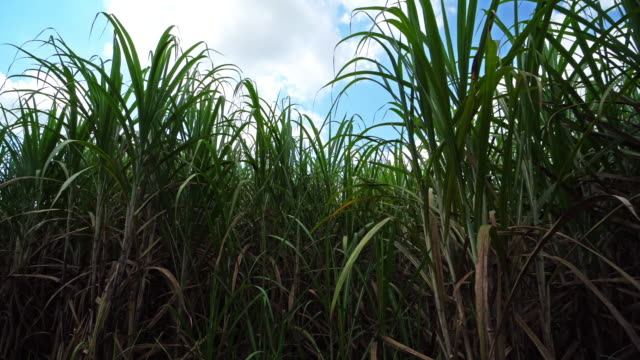 sugarcane field with cumulus clouds - sugar cane stock videos and b-roll footage