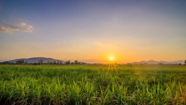 sugarcane field with sunset - sugar cane stock videos and b-roll footage