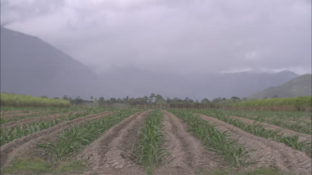vídeos de stock, filmes e b-roll de ws sugarcane field with vegetation swaying in wind, train passing by in distance along with mountains and fog, yarrabah mission, queensland, australia - sugar cane