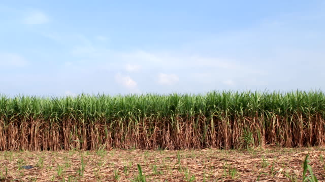 sugarcane field:time lapse - sugar cane stock videos and b-roll footage