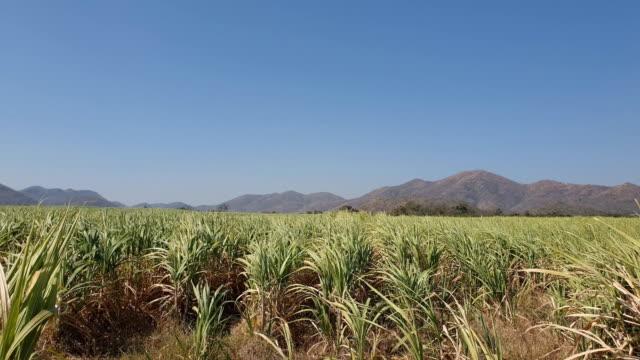 vídeos de stock, filmes e b-roll de plantação de cana-de-açúcar - sugar cane