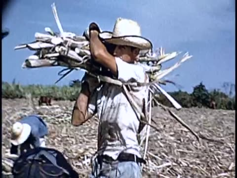 vidéos et rushes de 1955 - sugarcane production, cuba - sugar cane