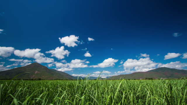 sugarcane time-lapse - sugar cane stock videos and b-roll footage