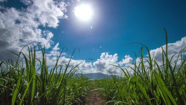 sugarcane time-lapse - sugar cane stock videos & royalty-free footage