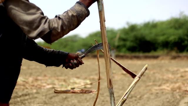 vídeos y material grabado en eventos de stock de sugarcane - campesino