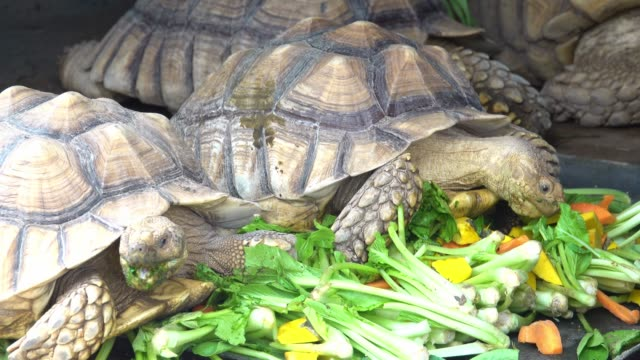 sulcata tortoise - tortoise stock videos & royalty-free footage