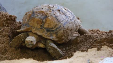 sulcata landschildkröte - landschildkröte stock-videos und b-roll-filmmaterial