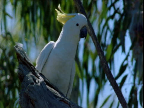 sulphur crested cockatoo perched in gum tree, victoria, australia - cricket stump stock videos & royalty-free footage
