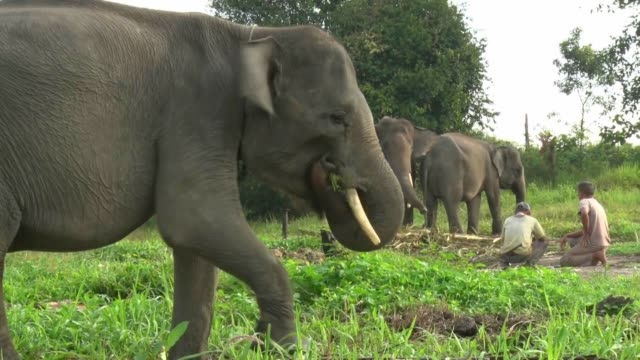 sumatran elephants being trained at the minas elephant training centre on august 10 2019 in siak riau province indonesia illegal loggers who are... - minas stock videos and b-roll footage