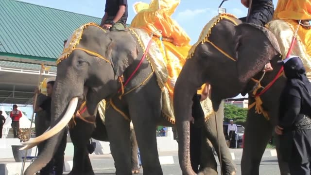 Sumatran elephants participate in a parade in Banda Aceh Indonesia as part of Aceh cultural week