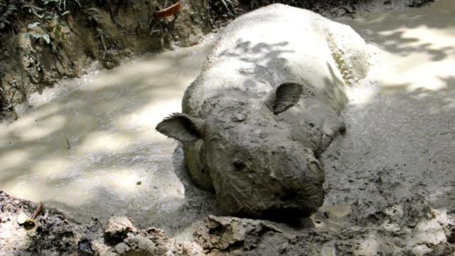 sumatran rhino - mud stock videos & royalty-free footage