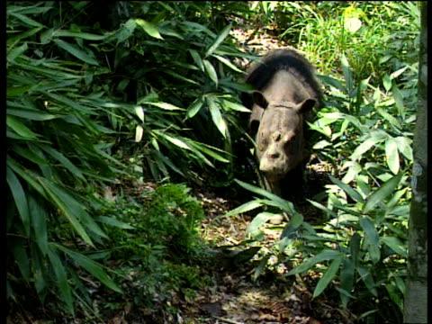 sumatran rhino walks though green leaves towards camera borneo - rhinoceros stock videos & royalty-free footage