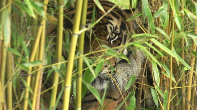 """sumatran tiger, panthera tigris sumatrae, male camouflaged in bamboos, snarling, real time"" - disguise stock videos & royalty-free footage"