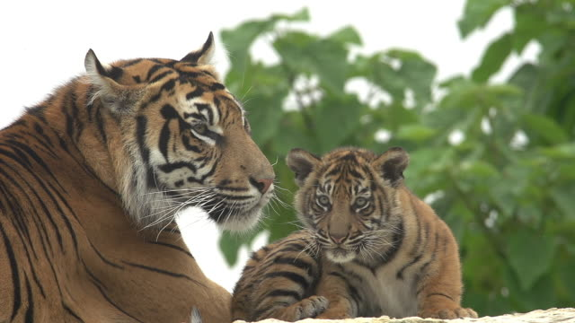 """sumatran tiger, panthera tigris sumatrae, mother licking cub, real time"" - raubtier stock-videos und b-roll-filmmaterial"