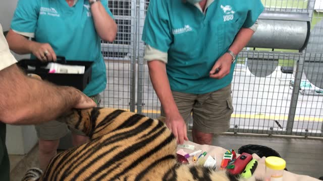 sumatran tiger pemanah is seen during a health check at taronga zoo on november 18, 2020 in sydney, australia. pemanah, whose name means archer in... - animal blood stock videos & royalty-free footage