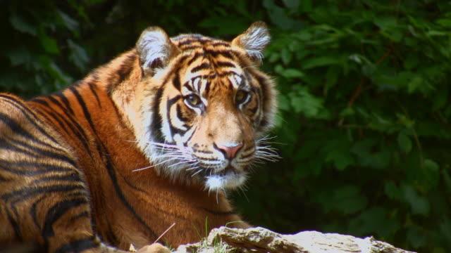 ms sumatran tiger resting in toronto zoo / toronto, canada - zoo stock videos & royalty-free footage