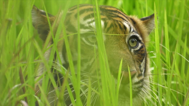 sumatran tiger (panthera tigris sumatrae) running from grass field in mount halimun salak national park, indonesia - 絶滅の恐れのある種点の映像素材/bロール