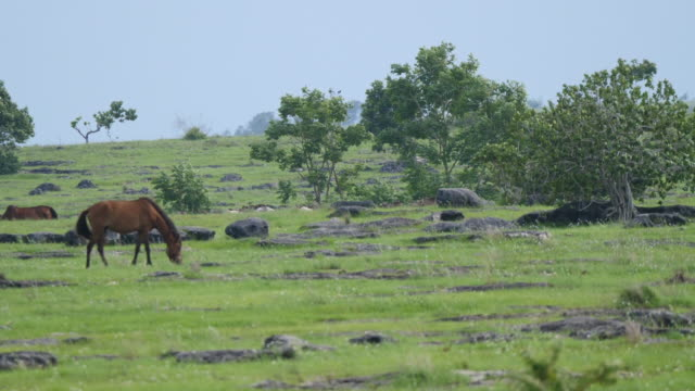 sumba horses. - transportation event stock videos and b-roll footage