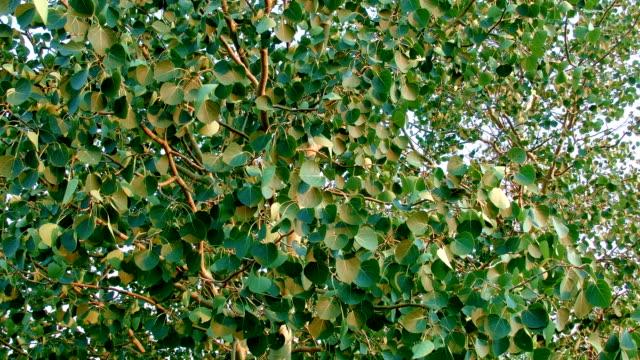 summer aspen tree leaves in wind rustling dawn aspens steens mountain near malhuer wildlife refuge 1 - aspen tree stock videos & royalty-free footage