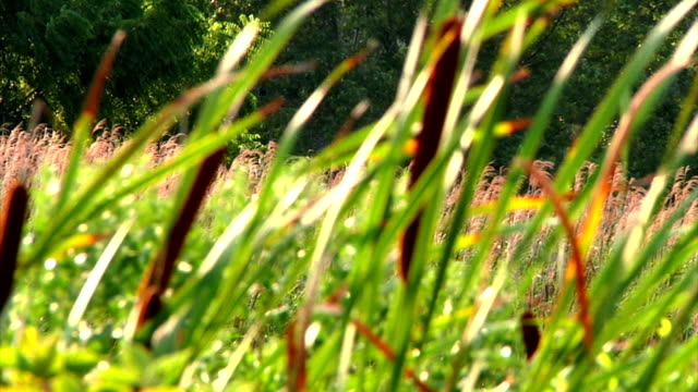 Summer breezes blowing through meadows of cattails and wild grasses