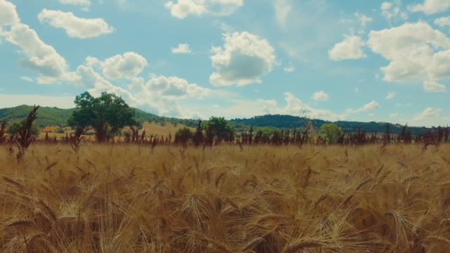 summer countryside landscape in italy - wheat stock videos & royalty-free footage