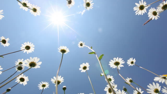 summer field of margerite flower