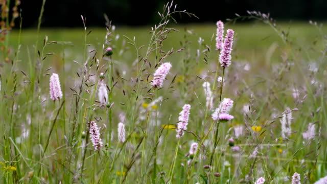vidéos et rushes de champ de fleurs d'été sur fond nuageux. - plante sauvage