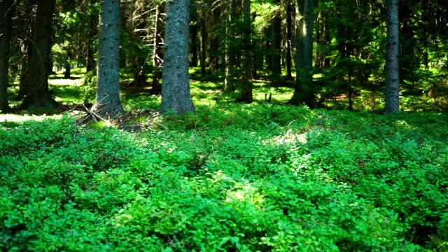 vídeos y material grabado en eventos de stock de bosque de verano - pinaceae