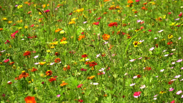 sommerwiese wildblumen - wildblume stock-videos und b-roll-filmmaterial