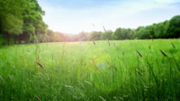 Summer meadow with long grass gently blowing in the wind.