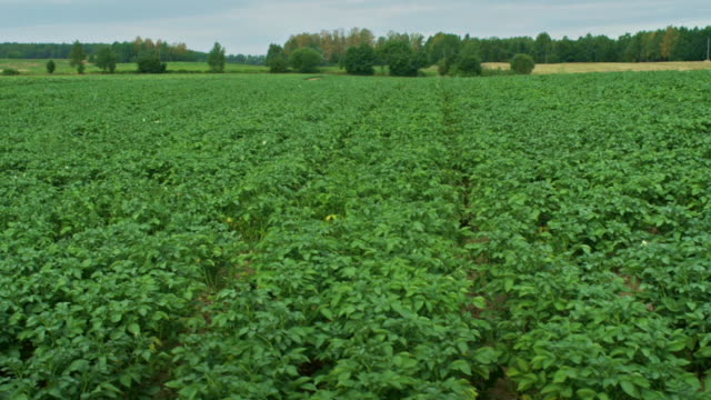 summer on the farm. grown potato plants on the field - red potato stock videos & royalty-free footage