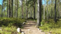 Summer Pine Forest In Sunny Day