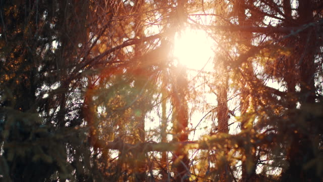 vidéos et rushes de forêt de pin d'été dans la journée ensoleillée - conifère
