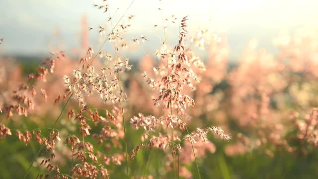 sommer szene von süßgräser (poaceae) gras und blumen winken im wind sehr sonnig - klammer stock-videos und b-roll-filmmaterial