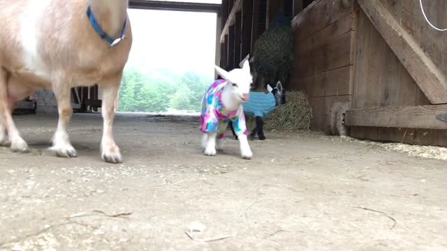 vidéos et rushes de summer seems to be shaping up nicely for strawberry moon and comet, the last two goat kids of the year's kidding season at sunflower farm creamery in... - mignon