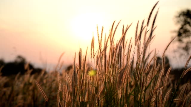 summer swaying grass with sunset scene - saturated color stock videos and b-roll footage