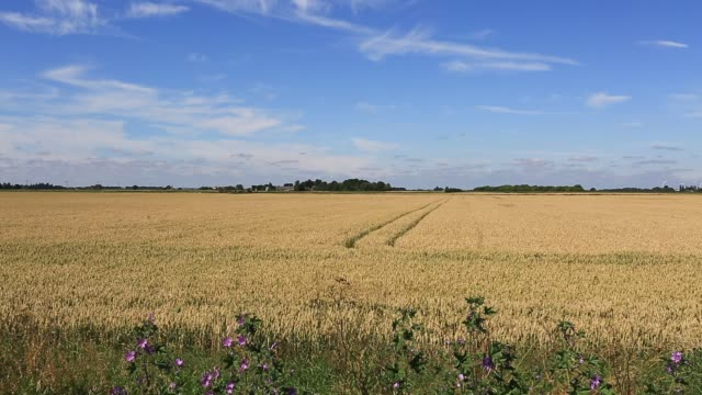 summer view over agricultural wheat fields, fenland, cambridgeshire fens, england, uk - fen stock videos and b-roll footage
