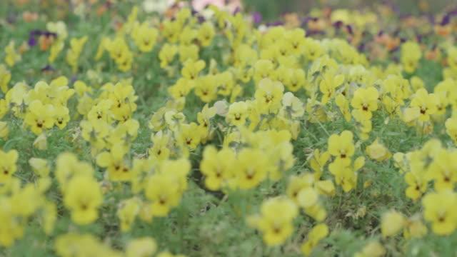 summer yellow flower in garden,shanghai,China