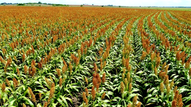 summertime on the farm as gmo crops growing in central texas aerial drone view low angle with curved rows - corn crop stock videos and b-roll footage