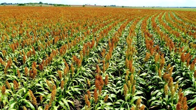 Zomer op de boerderij als GGO-gewassen groeien in Centraal-Texas luchtfoto drone lage kijkhoek met gebogen rijen