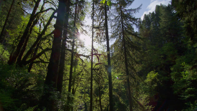 LOW ANGLE MEDIUM SHOT sun above tall trees in lush green forest