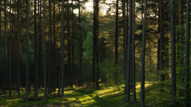 sun among the pines - poland stock videos & royalty-free footage