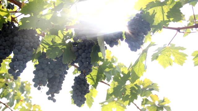 sun and grape