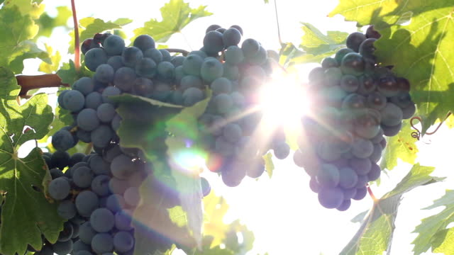 sun and grape - grape leaf stock videos and b-roll footage