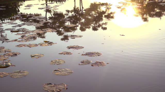 Sun And Lotus On Water 4K