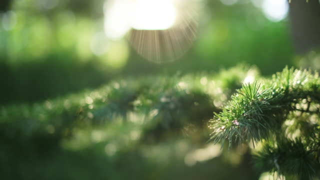 sun and pine tree natural background of green needles - back lit stock videos & royalty-free footage
