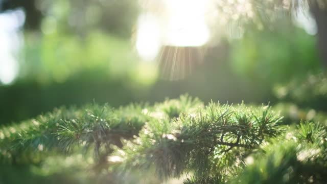 sol och tall naturlig bakgrund av gröna nålar - tallträd bildbanksvideor och videomaterial från bakom kulisserna