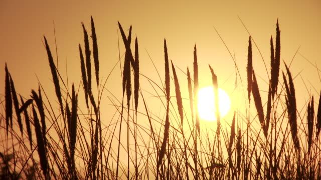 MS Sun and yellow sky through dry grass / Cap de l'Homy, Aquitaine, France