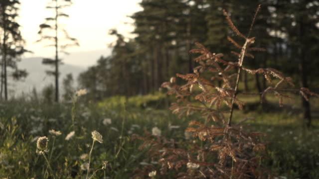 solstråle och utsikt över en obrukad del av tallskog i en avlägsen lantlig plats - remote location bildbanksvideor och videomaterial från bakom kulisserna